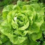 avatar Salade